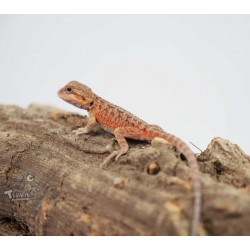 Agama brodata Red...