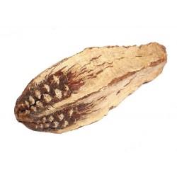 Nasiono owocu mahoniowca...